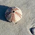Sea Urchin and Shell Print by Kenneth Albin