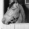 Seabiscuit 1933-1947, In His Stall Poster by Everett
