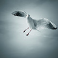 Seagull Flying Print by arnaud bertrande photographie