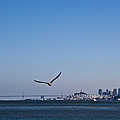 Seagull Flying Over San Francisco Bay Poster by David Buffington