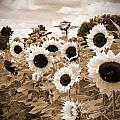 Sepia Sunflower Field Poster by Debbra Obertanec