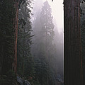 Sequoia Trees Dwarf A Car Traveling Poster by Carsten Peter