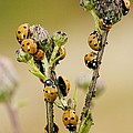 Seven-spot Ladybirds Eating Aphids Print by Bob Gibbons