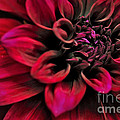 Shades of Red - Dahlia Print by Kaye Menner