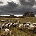 Sheep Grazing By Lindisfarne Castle Poster by John Short