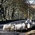 Sheep On The Road, Torr Head, Co Print by The Irish Image Collection