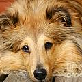 Sheltie Poster by Kati Molin