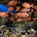 Shoulderbar Soldierfish Poster by Dave Fleetham - Printscapes