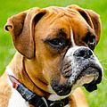 Sidney The Boxer Print by Chris Thaxter