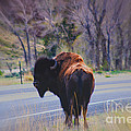 Single Buffalo in Yellowstone NP Poster by Susanne Van Hulst