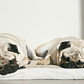 Sleeping Pug Dogs Print by Elli Luca