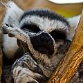 Sleepy Lemur by Justin Albrecht