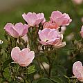 Small Pink Roses in Garden Poster by M K  Miller