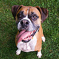 Smiling Boxer Dog Print by Stephanie McDowell