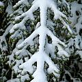 Snowy fir tree Print by Sami Sarkis