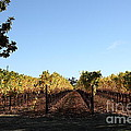Sonoma Vineyards - Sonoma California - 5D19314 Poster by Wingsdomain Art and Photography