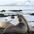 Southern Elephant Seals Sparring Print by Charlotte Main