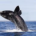Southern Right Whale Poster by Francois Gohier and Photo Researchers