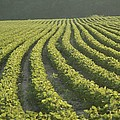Soybean Crop Ready To Harvest Print by Brian Gordon Green