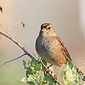 Sparrow Bird Perched . 40D12304 Print by Wingsdomain Art and Photography