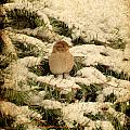 Sparrow In Winter II - Textured Print by Angie Tirado