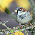 Sparrow on a branch Print by Ralph Martens