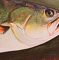 Speckled Trout Poster by Amanda Ladner