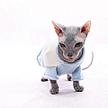 Sphynx Hairless Cat. Poster by With love of photography