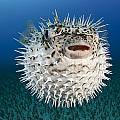 Spotted Porcupinefish III Poster by Dave Fleetham