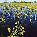 Spring Flood Plains With Wildflowers Print by Norbert Rosing