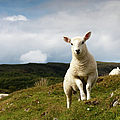 Spring Lamb On Hillside Poster by Kevin Day