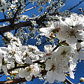 Spring Pear Blossoms 2012 Poster by Joyce Dickens