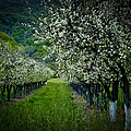 Springtime in the Orchard II Print by Bill Gallagher