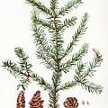 Spruce Twig Poster by Betsy Gray
