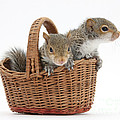 Squirrels In A Basket Print by Mark Taylor