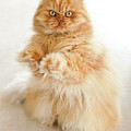 Standing Persian Cat Print by Hulya Ozkok