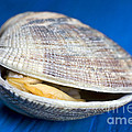 Steamed clam Poster by Frank Tschakert