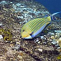 Striped Surgeonfish Poster by Georgette Douwma