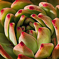 Succulent Petals Print by Kelley King