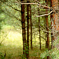 Summer Forest. Pine Trees Print by Jenny Rainbow