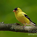 Summer Joy - Male Gold Finch Print by Inspired Nature Photography By Shelley Myke