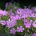 Summer Phlox Print by Jeannie Burleson