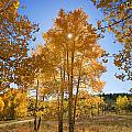 Sun Through Aspens Print by Ron Dahlquist - Printscapes