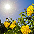 Sunflare and Yellow Roses Poster by Amber Flowers