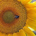 Sunflower and a bumblebee Print by Aleksandr Volkov