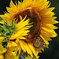Sunflower and Monarch 3 Print by Edward Sobuta
