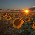Sunflower Field - Colorado Poster by Lightvision, LLC