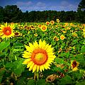 Sunflower Field Poster by Melessia  Todd