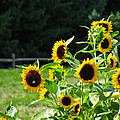 SUNFLOWER PATCH Poster by Debra     Vatalaro