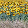 Sunflowers Behind Barbed Wire Poster by Estephy Sabin Figueroa